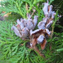 Cypress Tree Seeds Chamaecyparis Cupressus Tree 50pcs
