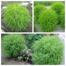 Cypress Chamaecyparis Tree seeds Cupressus 200pcs