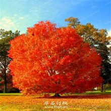 Rare Red Oak Quercus Alba Acorns Tree Seeds 10pcs