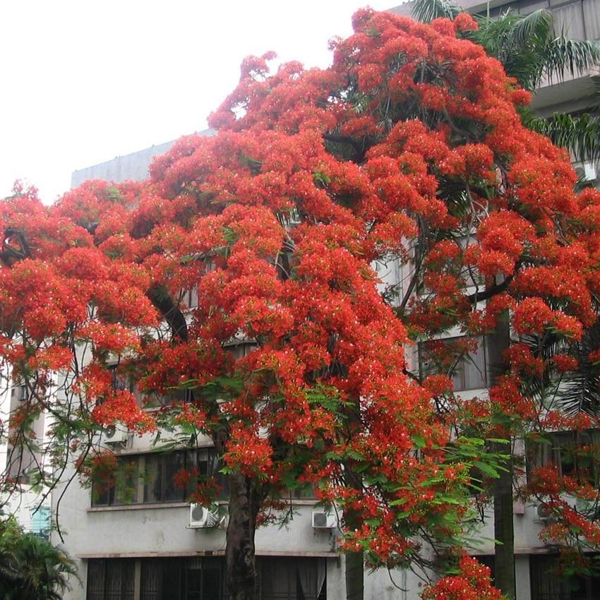 30pcs Red Oak Quercus Tree Bonsai Seeds Alba Acorns