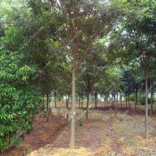 Hackberry Celtis Chinese Tree Seeds Heirloom Bonsai 50 Pcs