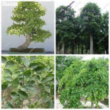 Rare Chinese Celtis Hackberry Seeds 100 Pcs