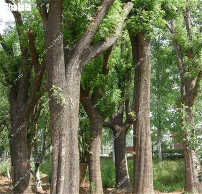 Rare Chinese Celtis Hackberry Seeds 100 Pcs