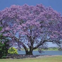Jacaranda Mimosifolia Bonsai Tree Seeds 10pcs
