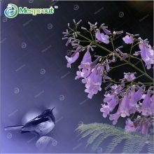 Jacaranda Mimosifolia 20pcs Blue Purple Tree Seeds