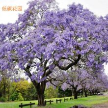 Jacaranda Mimosifolia Bonsai Tree seeds 50pcs