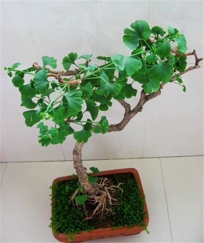Ginkgo Biloba Maidenhair Bonsai Tree Seeds 10 Pcs Pure Bonsai