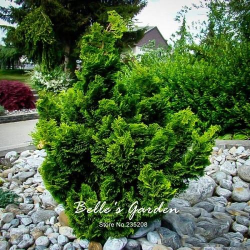 50Pcs Hinoki Cypress Seeds Chamaecyparis Obtusa