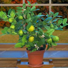 30Pcs Citrus Aurantifolia Key Lime Seeds