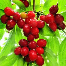10Pcs Dogwood Cornelian Cherry Cornus Seeds