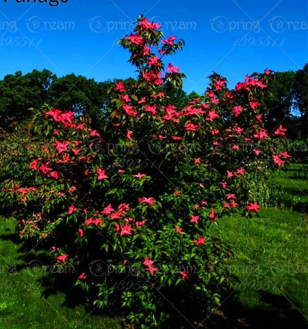 30Pcs Dogwood Cornelian Cherry Cornus Dendrobenthamia Japonica var. Chinensis Seeds