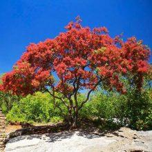 40Pcs Cotinus Coggygria Smoke Tree Seeds