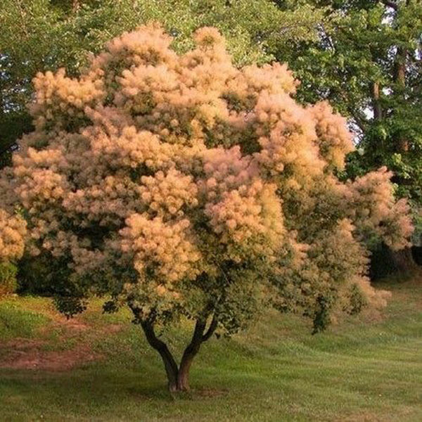40Pcs Cotinus Coggygria Smoke Tree Seeds - Pure Bonsai