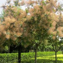 10Pcs Cotinus Coggygria Smoke Tree Seeds