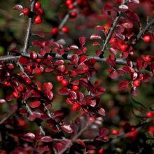 100Pcs Cotoneaster Horizontalis Rosaceae Rockspray Seeds