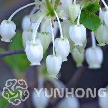 100Pcs Enkianthus Ericaceae Chinese Tree Seeds