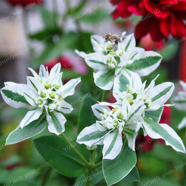 50Pcs Euphorbia Balsamifera Wolfsmilk Seeds