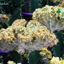 50Pcs Euphorbia Balsamifera Lactea Succulent Wolfsmilk Seeds