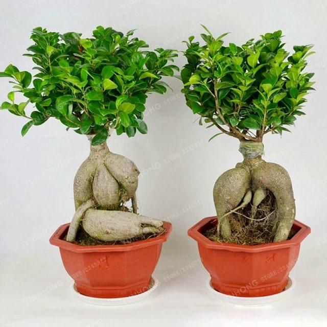 20Pcs Banyan Benghalensis Ficus Seeds