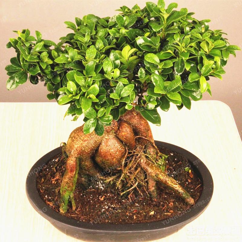 20pcs Banyan Benghalensis Ficus Seeds Pure Bonsai