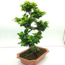 20Pcs Ficus Benghalensis Banyan Tree Seeds
