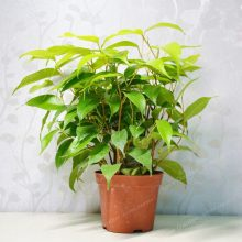 20Pcs Ficus Benjamina Weeping Fig Tree Seeds