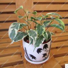 50Pcs Ficus Benjamina Weeping Fig Tree Seeds