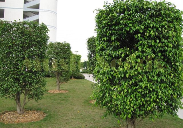 200pcs Ficus Benjamina Weeping Fig Tree Seeds