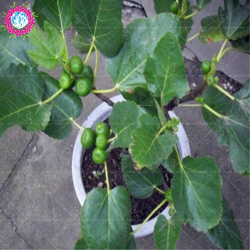100pcs Ficus Carica Figs Seeds