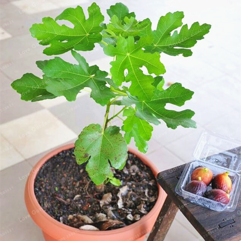 50Pcs Rare Ficus Microcarpa Tree Seeds