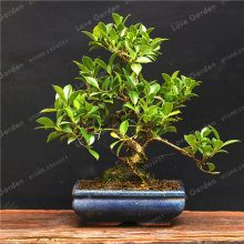 20Pcs Rare Ficus Microcarpa Tree Seeds