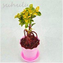 100Pcs Rare Ficus Microcarpa Tree Seeds