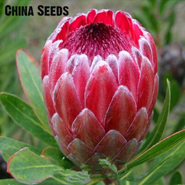 50Pcs Rare Pink Protea Neriifolia Willow Leaved Fig Seeds
