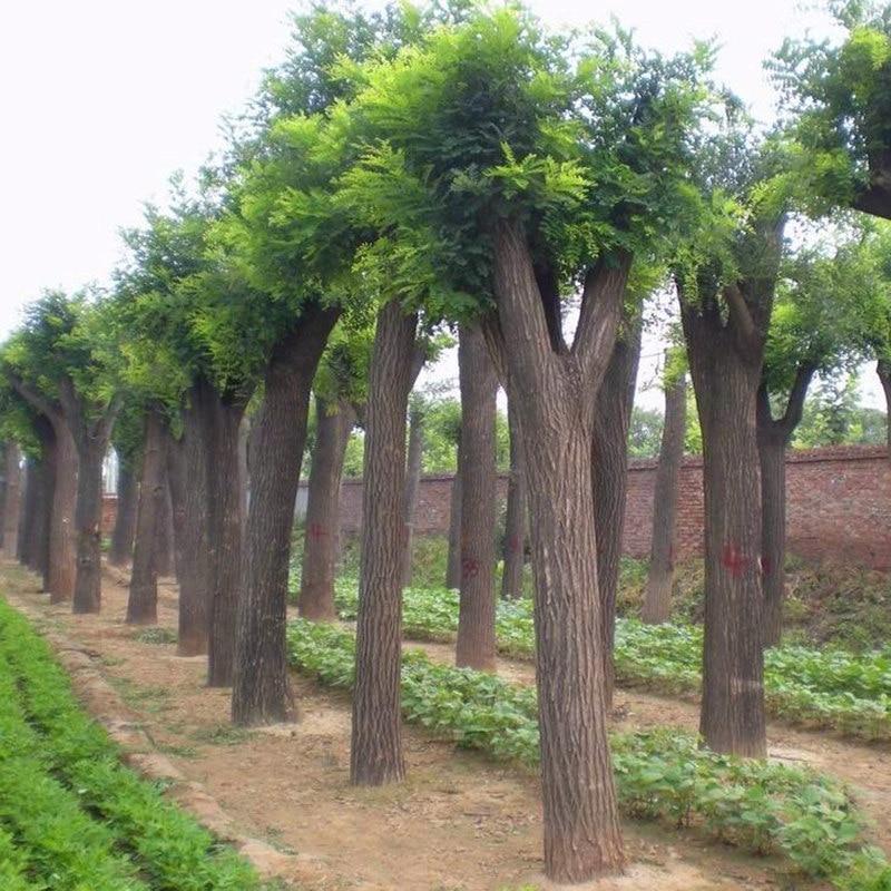 50Pcs Ash Fraxinus Tree Seeds