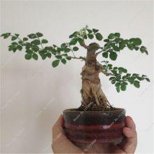 10Pcs Ash Fraxinus Tree Seeds