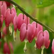 10Pcs Fuchsia Tree Seeds