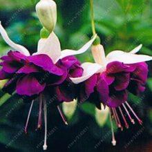 100Pcs Fuchsia Tree Seeds