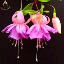 50Pcs Fuchsia Tree Seeds