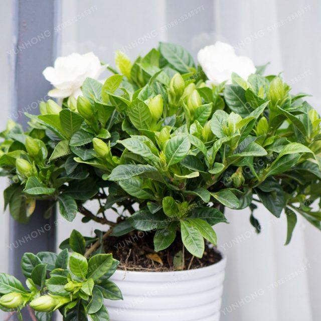 5Pcs Gardenia Cape Jasmine Seeds