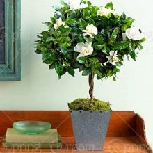 200Pcs Gardenia Cape Jasmine Seeds