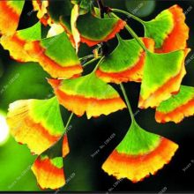 5Pcs Ginkgo Biloba Maidenhair Tree Seeds