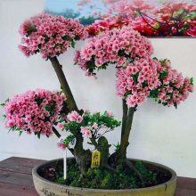 Azalea Bonsai Seeds 20 Pcs