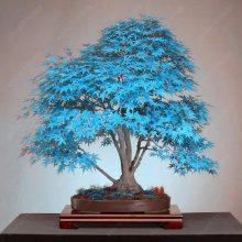 Maple Tree Seeds 50 pcs