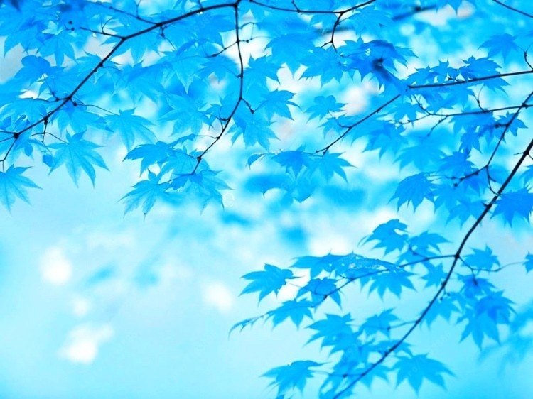 Maple Tree Seeds 20 pcs