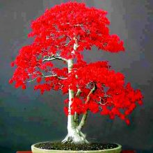 Japanese Maple Seeds 50 pcs