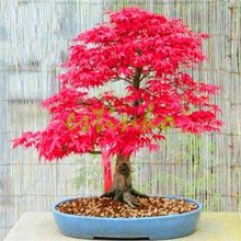 Red Japanese Maple Seeds 10pcs