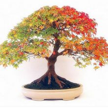 Maple Feathers Bonsai Seeds 30 pcs