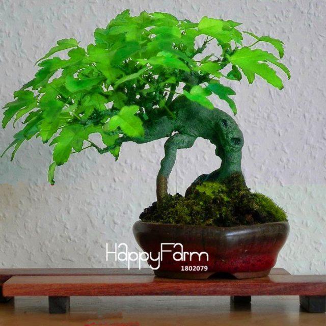 Japanese Maple Tree Bonsai Seeds 50pcs Pure Bonsai