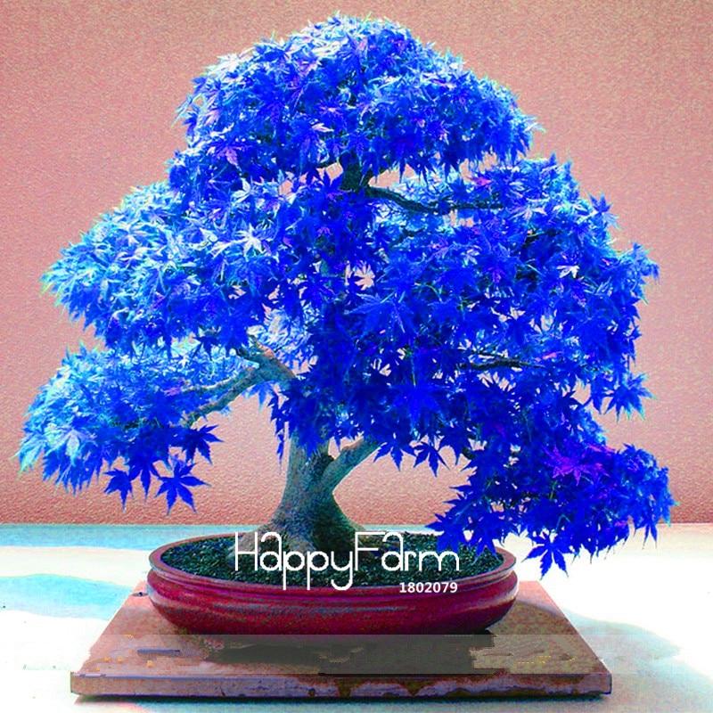Japanese Maple Tree Bonsai Seeds 30pcs