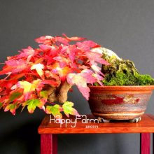 Japanese Maple Tree Bonsai Seeds 50pcs
